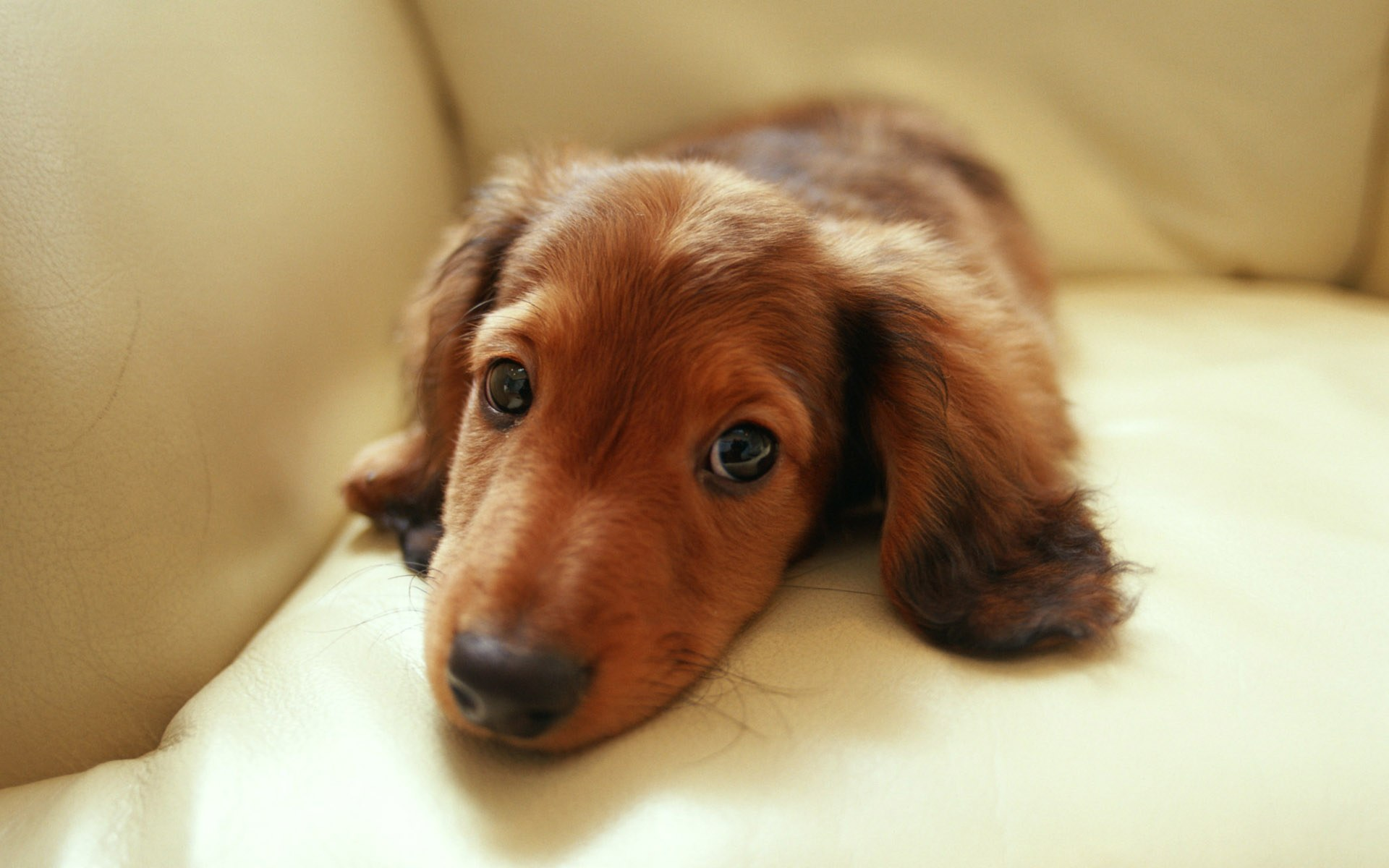 Animals Dogs Sad dachshund lying on the couch 084279