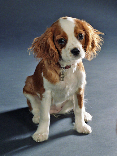 Cavalier King Charles copy
