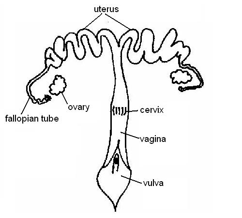 Female reproductive system labelled
