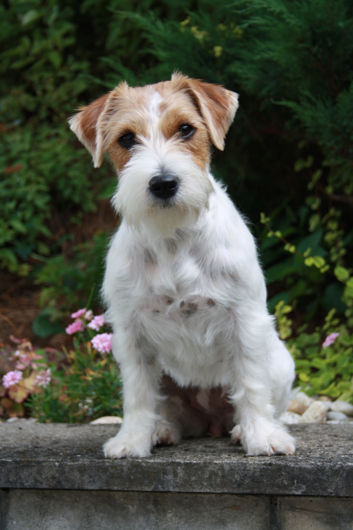 Rough coat Jack Russell terrier