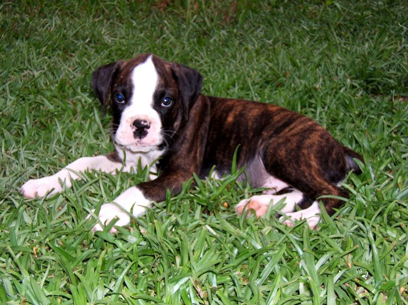 brindle boxer puppies pictures 2