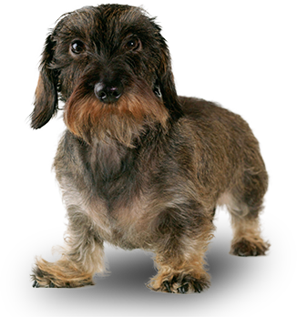 dachshund miniature wirehaired large