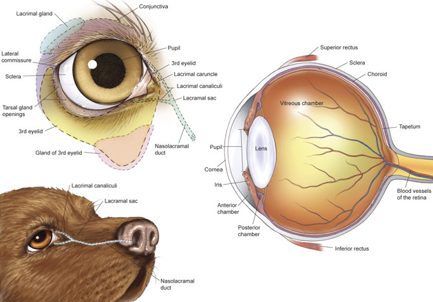 dog canine eye