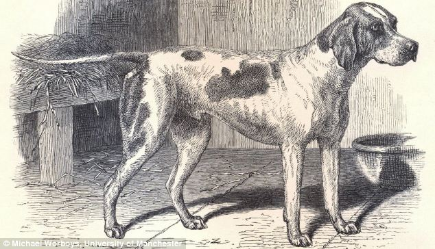 major-first pedigree dog