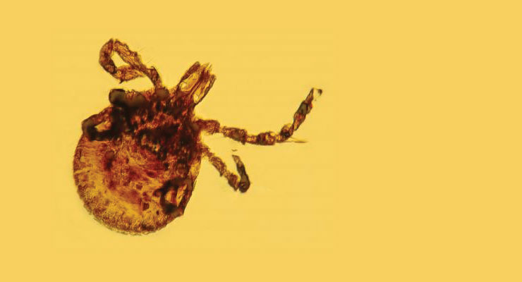 tick amber ancient lyme