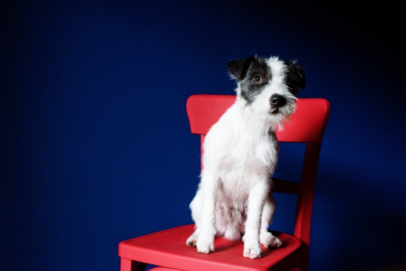 Parson i Jack Russell terijer